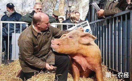 丹麦:发展有机猪养殖 创造养殖神话